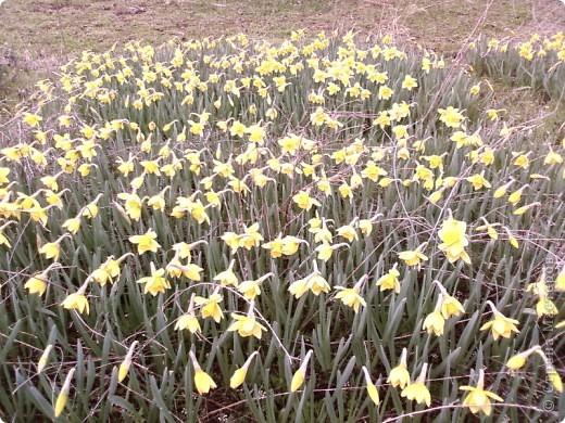 Вот обещанный мной фоторепортаж. Насмотрелась на холодную весну в России, и захотелось показать малую часть той красоты весны, которая сейчас есть в Крыму. Это верба, фотографировала в Феодосии, уже вся зацвела, почти не найти такую, чтобы была не опыленной, чувствую в этом году на вербное воскресенье не видать нам вербы, будет, наверное, очень дорого стоить... фото 17