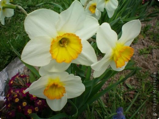 Нарциссы фото 14