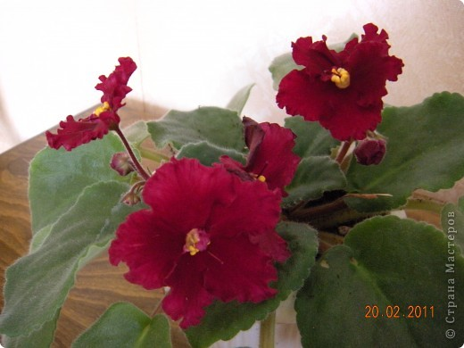 Очень люблю цветы.Если посадить в один горшочек тёмную и светлую фиалку со временем она переопыляется. фото 11