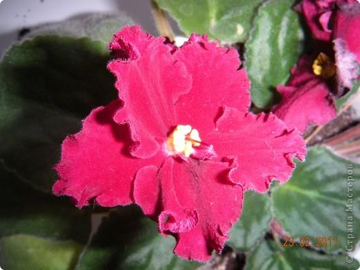 Очень люблю цветы.Если посадить в один горшочек тёмную и светлую фиалку со временем она переопыляется. фото 15