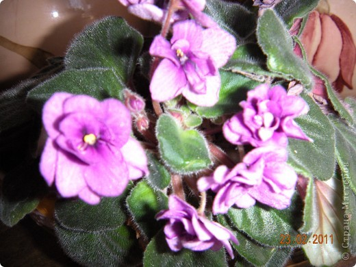 Очень люблю цветы.Если посадить в один горшочек тёмную и светлую фиалку со временем она переопыляется. фото 12