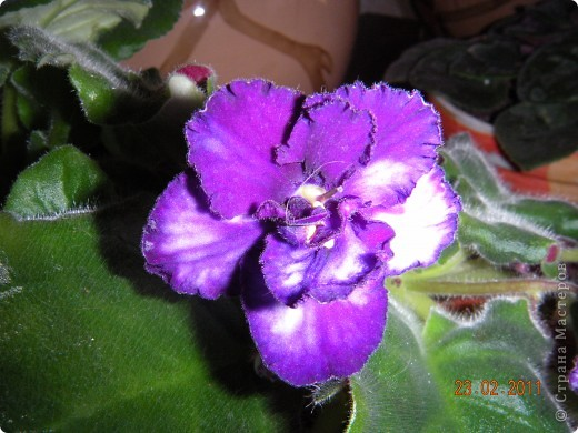 Очень люблю цветы.Если посадить в один горшочек тёмную и светлую фиалку со временем она переопыляется. фото 14