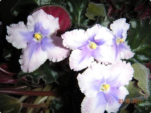 Очень люблю цветы.Если посадить в один горшочек тёмную и светлую фиалку со временем она переопыляется. фото 13