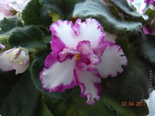Очень люблю цветы.Если посадить в один горшочек тёмную и светлую фиалку со временем она переопыляется. фото 5