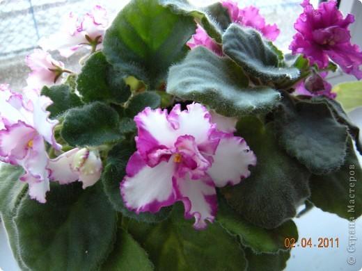 Очень люблю цветы.Если посадить в один горшочек тёмную и светлую фиалку со временем она переопыляется. фото 4