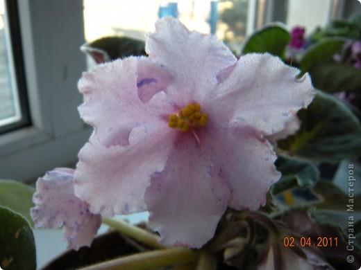 Очень люблю цветы.Если посадить в один горшочек тёмную и светлую фиалку со временем она переопыляется. фото 6
