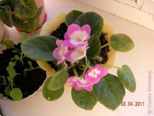 Очень люблю цветы.Если посадить в один горшочек тёмную и светлую фиалку со временем она переопыляется. фото 7