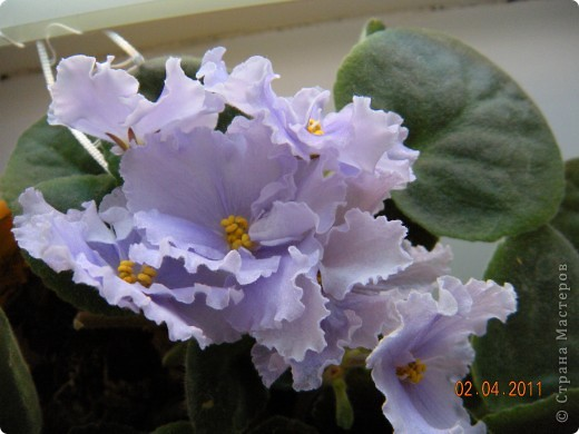 Очень люблю цветы.Если посадить в один горшочек тёмную и светлую фиалку со временем она переопыляется. фото 8