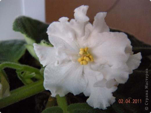 Очень люблю цветы.Если посадить в один горшочек тёмную и светлую фиалку со временем она переопыляется. фото 2
