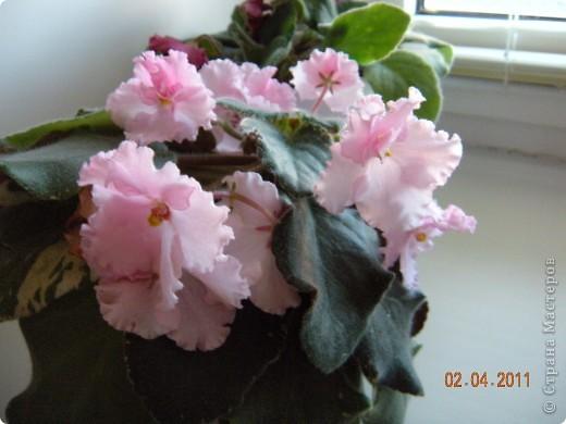 Очень люблю цветы.Если посадить в один горшочек тёмную и светлую фиалку со временем она переопыляется. фото 10