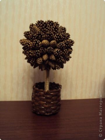Шишковое дерево!!! фото 3
