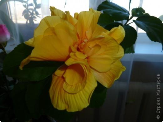 Утром проснулась , а моя роза расцвела  . Вот такой с утра мне подарочек.  фото 1