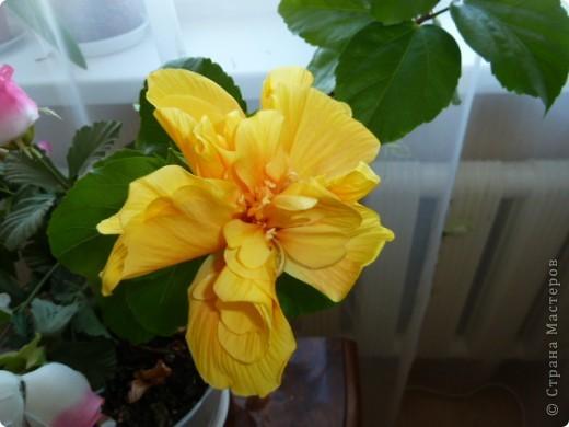 Утром проснулась , а моя роза расцвела  . Вот такой с утра мне подарочек.  фото 2