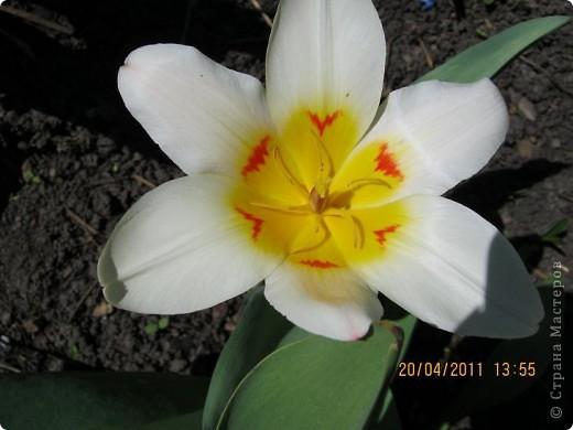 Дорогие жители Страны, хочу показать цветы что расцвели буквально за несколько дней. Кто это дело любит - приятного просмотра! На фото 1 -примулка фото 9
