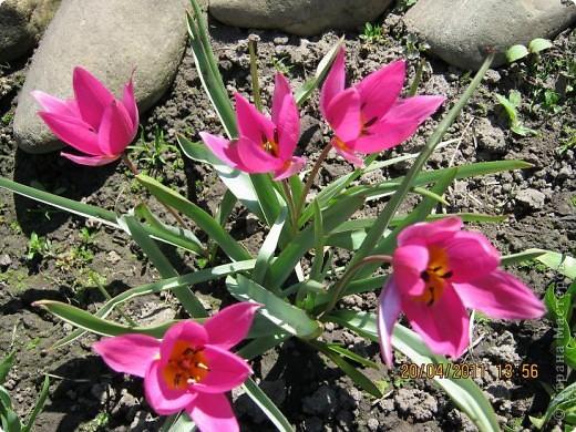 Дорогие жители Страны, хочу показать цветы что расцвели буквально за несколько дней. Кто это дело любит - приятного просмотра! На фото 1 -примулка фото 10