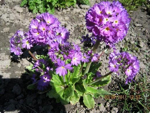 Дорогие жители Страны, хочу показать цветы что расцвели буквально за несколько дней. Кто это дело любит - приятного просмотра! На фото 1 -примулка фото 1