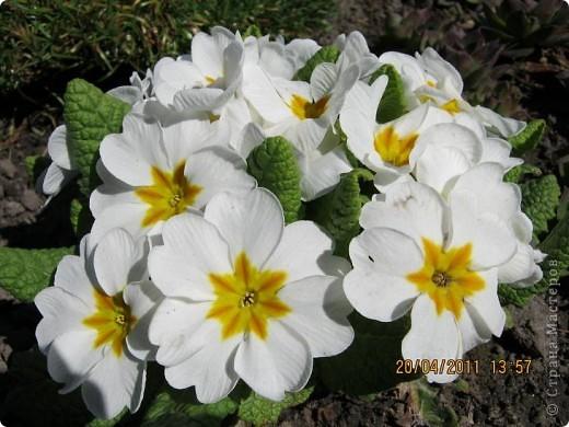 Дорогие жители Страны, хочу показать цветы что расцвели буквально за несколько дней. Кто это дело любит - приятного просмотра! На фото 1 -примулка фото 4