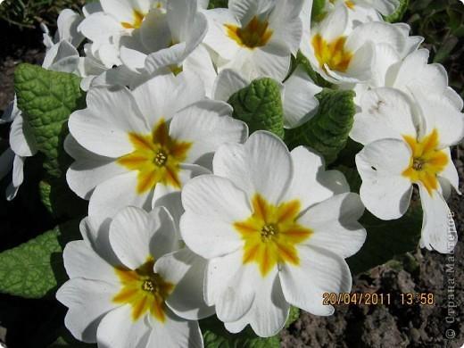 Дорогие жители Страны, хочу показать цветы что расцвели буквально за несколько дней. Кто это дело любит - приятного просмотра! На фото 1 -примулка фото 5