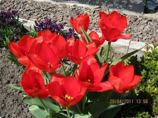 Дорогие жители Страны, хочу показать цветы что расцвели буквально за несколько дней. Кто это дело любит - приятного просмотра! На фото 1 -примулка фото 8