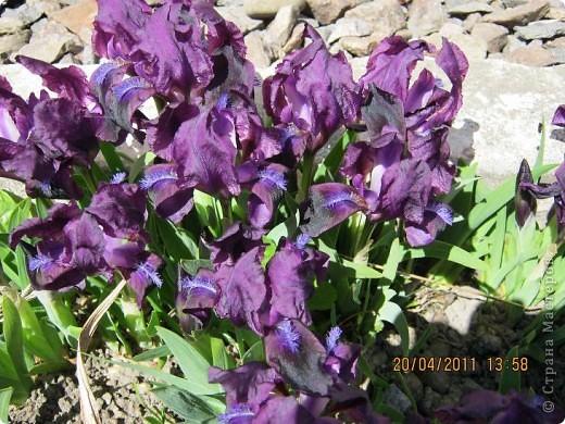 Дорогие жители Страны, хочу показать цветы что расцвели буквально за несколько дней. Кто это дело любит - приятного просмотра! На фото 1 -примулка фото 7