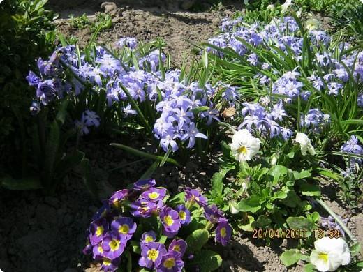 Дорогие жители Страны, хочу показать цветы что расцвели буквально за несколько дней. Кто это дело любит - приятного просмотра! На фото 1 -примулка фото 2