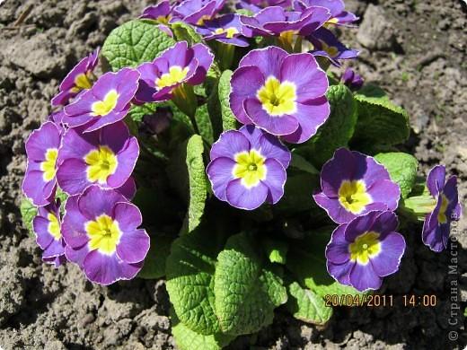 Дорогие жители Страны, хочу показать цветы что расцвели буквально за несколько дней. Кто это дело любит - приятного просмотра! На фото 1 -примулка фото 3