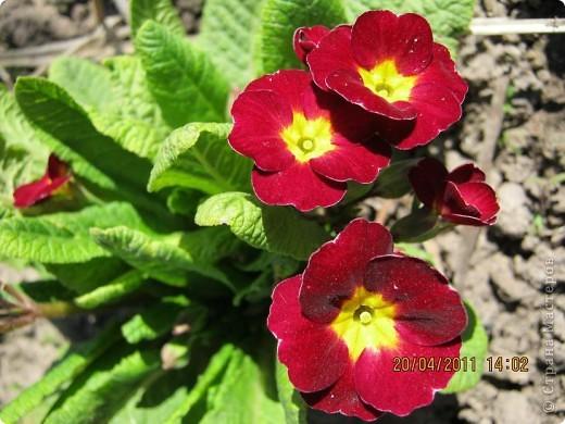 Дорогие жители Страны, хочу показать цветы что расцвели буквально за несколько дней. Кто это дело любит - приятного просмотра! На фото 1 -примулка фото 6