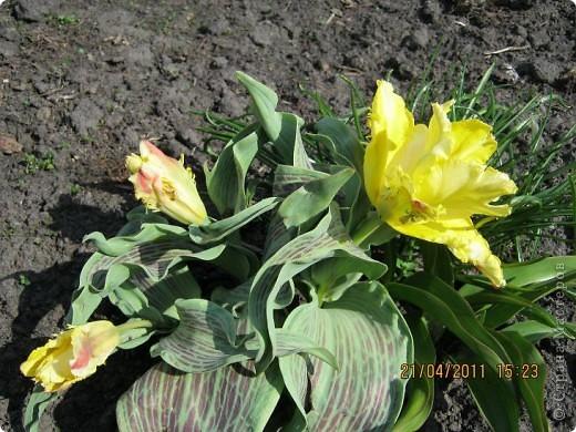 Дорогие жители Страны, хочу показать цветы что расцвели буквально за несколько дней. Кто это дело любит - приятного просмотра! На фото 1 -примулка фото 13