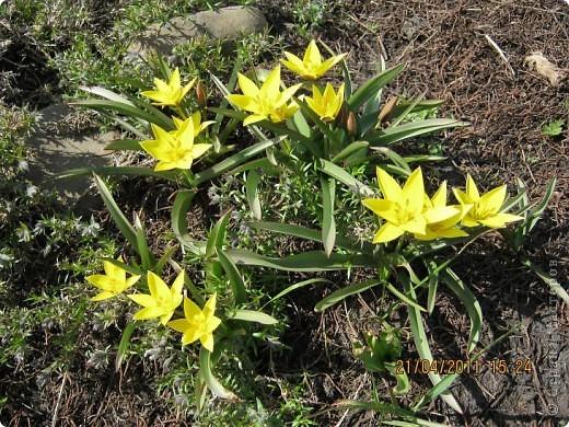 Дорогие жители Страны, хочу показать цветы что расцвели буквально за несколько дней. Кто это дело любит - приятного просмотра! На фото 1 -примулка фото 11