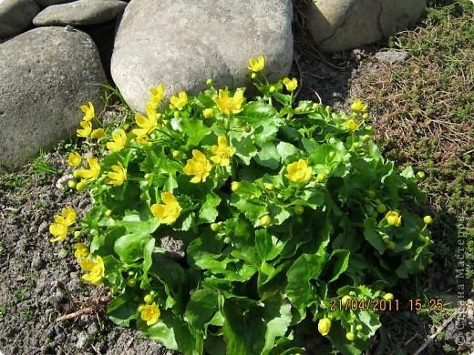 Дорогие жители Страны, хочу показать цветы что расцвели буквально за несколько дней. Кто это дело любит - приятного просмотра! На фото 1 -примулка фото 16