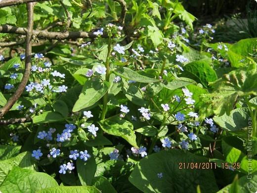 Дорогие жители Страны, хочу показать цветы что расцвели буквально за несколько дней. Кто это дело любит - приятного просмотра! На фото 1 -примулка фото 15