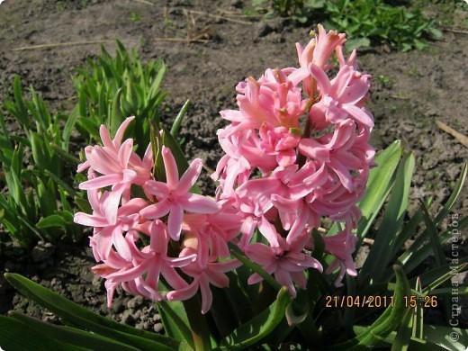 Дорогие жители Страны, хочу показать цветы что расцвели буквально за несколько дней. Кто это дело любит - приятного просмотра! На фото 1 -примулка фото 14
