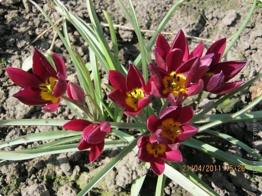 Дорогие жители Страны, хочу показать цветы что расцвели буквально за несколько дней. Кто это дело любит - приятного просмотра! На фото 1 -примулка фото 12