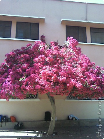 Дерево в цветах. фото 2