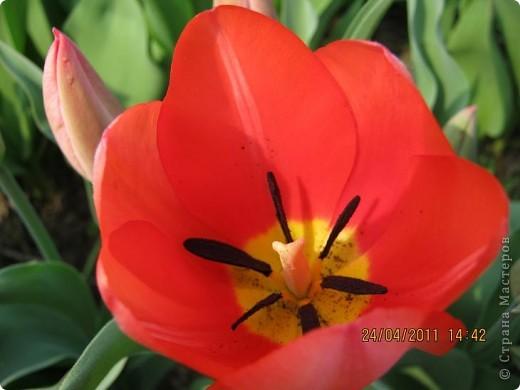 Дорогие жители Страны, хочу показать цветы что расцвели буквально за несколько дней. Кто это дело любит - приятного просмотра! На фото 1 -примулка фото 17