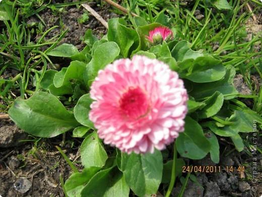 Дорогие жители Страны, хочу показать цветы что расцвели буквально за несколько дней. Кто это дело любит - приятного просмотра! На фото 1 -примулка фото 18