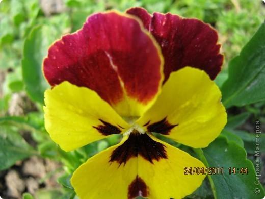 Дорогие жители Страны, хочу показать цветы что расцвели буквально за несколько дней. Кто это дело любит - приятного просмотра! На фото 1 -примулка фото 19