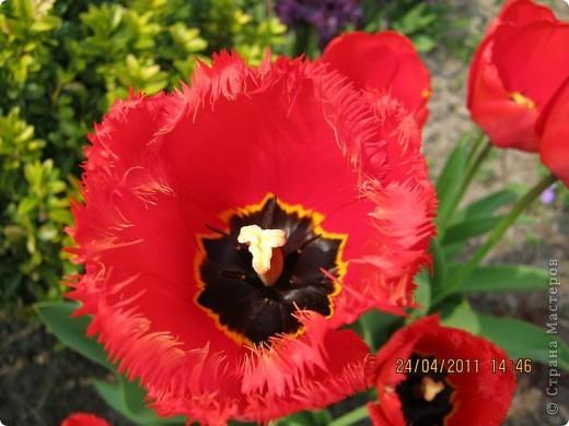 Дорогие жители Страны, хочу показать цветы что расцвели буквально за несколько дней. Кто это дело любит - приятного просмотра! На фото 1 -примулка фото 20