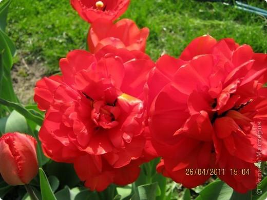 Дорогие жители Страны, хочу показать цветы что расцвели буквально за несколько дней. Кто это дело любит - приятного просмотра! На фото 1 -примулка фото 21