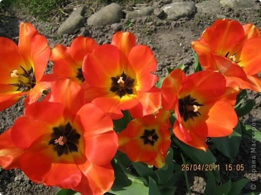 Дорогие жители Страны, хочу показать цветы что расцвели буквально за несколько дней. Кто это дело любит - приятного просмотра! На фото 1 -примулка фото 23