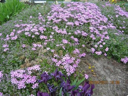 Дорогие жители Страны, хочу показать цветы что расцвели буквально за несколько дней. Кто это дело любит - приятного просмотра! На фото 1 -примулка фото 24
