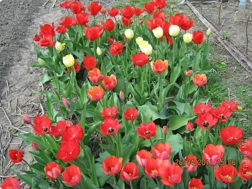 Дорогие жители Страны, хочу показать цветы что расцвели буквально за несколько дней. Кто это дело любит - приятного просмотра! На фото 1 -примулка фото 25