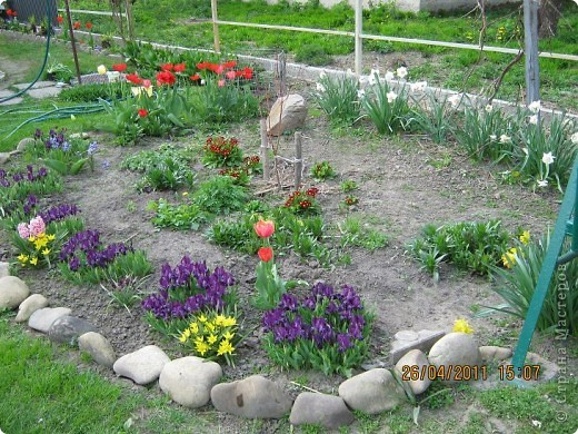 Дорогие жители Страны, хочу показать цветы что расцвели буквально за несколько дней. Кто это дело любит - приятного просмотра! На фото 1 -примулка фото 26