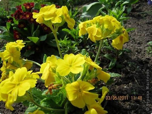 Здравствуйте, Дорогие жители Страны! Очень захотелось поделиться красками Весны с Вами! Любители цветов, я надеюсь, просмотр будет приятным! Спасибо всем кто забежал на огонек! фото 6