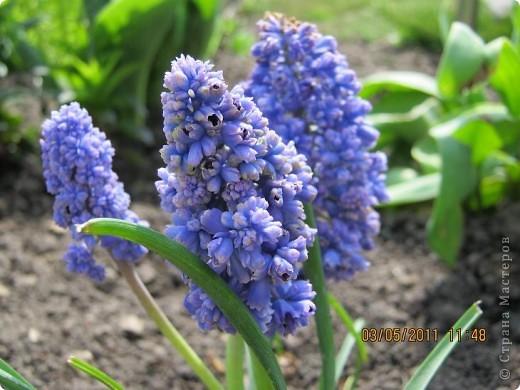 Здравствуйте, Дорогие жители Страны! Очень захотелось поделиться красками Весны с Вами! Любители цветов, я надеюсь, просмотр будет приятным! Спасибо всем кто забежал на огонек! фото 16