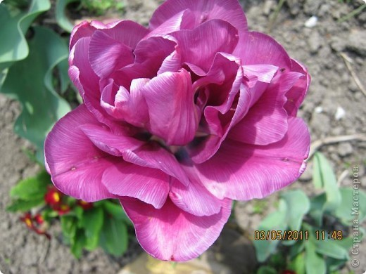 Здравствуйте, Дорогие жители Страны! Очень захотелось поделиться красками Весны с Вами! Любители цветов, я надеюсь, просмотр будет приятным! Спасибо всем кто забежал на огонек! фото 10