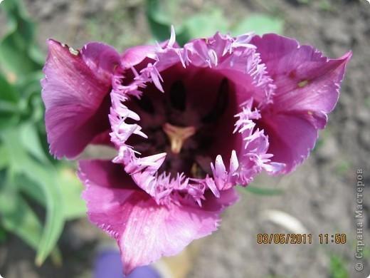 Здравствуйте, Дорогие жители Страны! Очень захотелось поделиться красками Весны с Вами! Любители цветов, я надеюсь, просмотр будет приятным! Спасибо всем кто забежал на огонек! фото 15