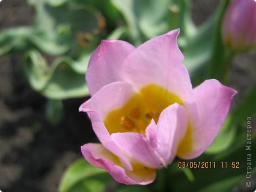 Здравствуйте, Дорогие жители Страны! Очень захотелось поделиться красками Весны с Вами! Любители цветов, я надеюсь, просмотр будет приятным! Спасибо всем кто забежал на огонек! фото 14