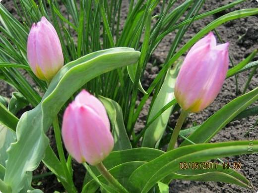 Здравствуйте, Дорогие жители Страны! Очень захотелось поделиться красками Весны с Вами! Любители цветов, я надеюсь, просмотр будет приятным! Спасибо всем кто забежал на огонек! фото 11