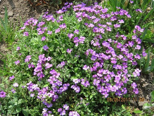 Здравствуйте, Дорогие жители Страны! Очень захотелось поделиться красками Весны с Вами! Любители цветов, я надеюсь, просмотр будет приятным! Спасибо всем кто забежал на огонек! фото 3
